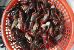 昨天钓龙虾的战利品!只来得及拍了下锅前的画面,还有几只超级迷你蟹!